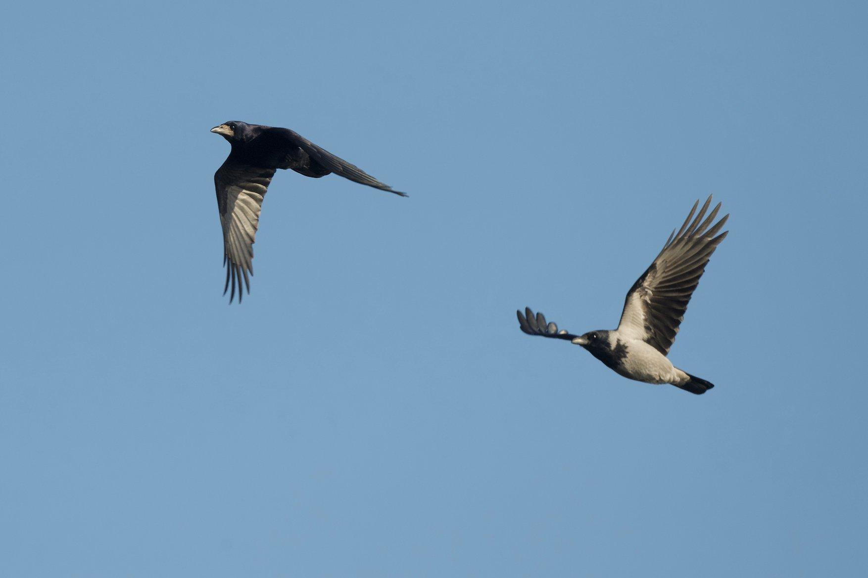 Gawron i wrona siwa